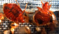 Protecting Yourself Against Bedbugs