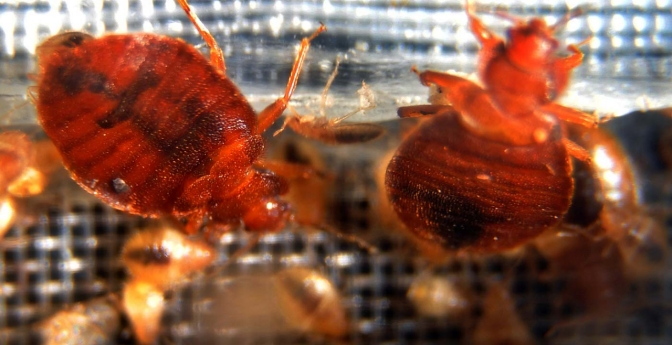 Are bedbugs a minor nuisance, or dangerous epidemic?
