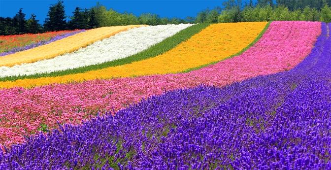 Lavender Fields of Japan