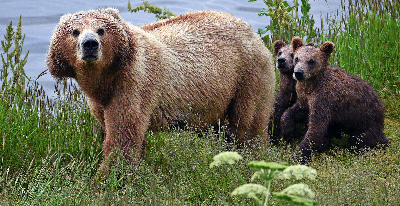 item 5 of Gallery image - A Kodiak bear sow walks along a creek while her cubs follow behind on Kodiak Island, Alaska.