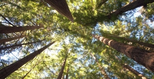 Redwoods, Big Sur, California
