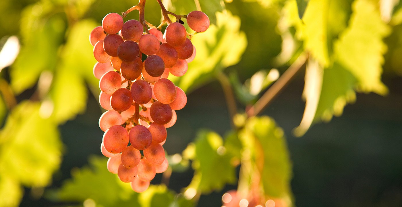 A Microclimate for Wine Grapes