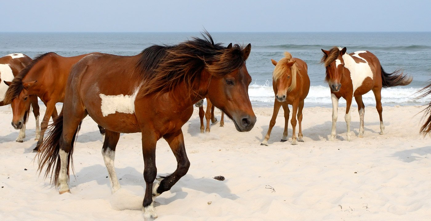 Wild Horses at Assateague National Seashore, Maryland