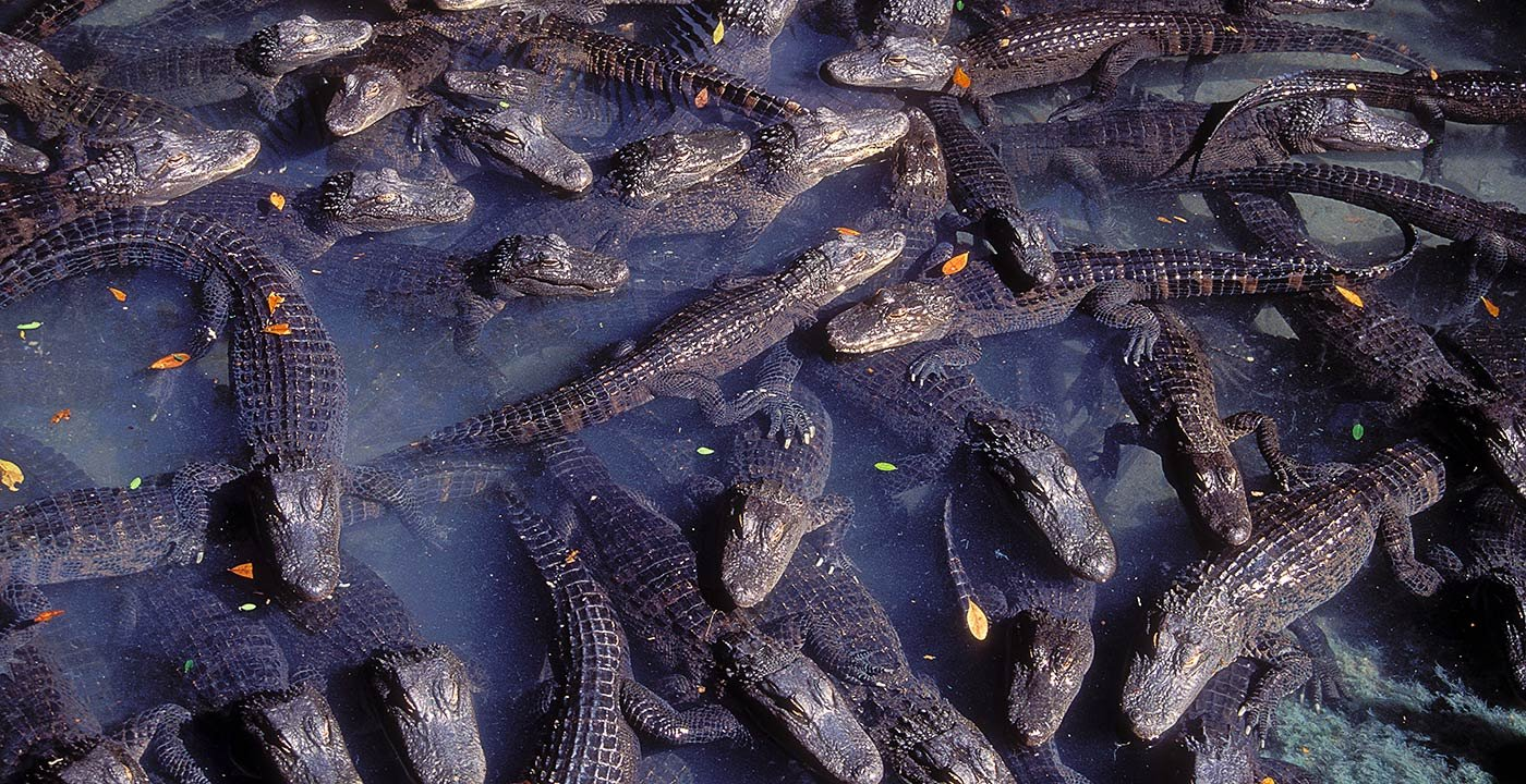 Thrills Galore at the St. Augustine Alligator Farm