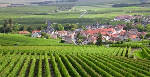 Burgundy Fields