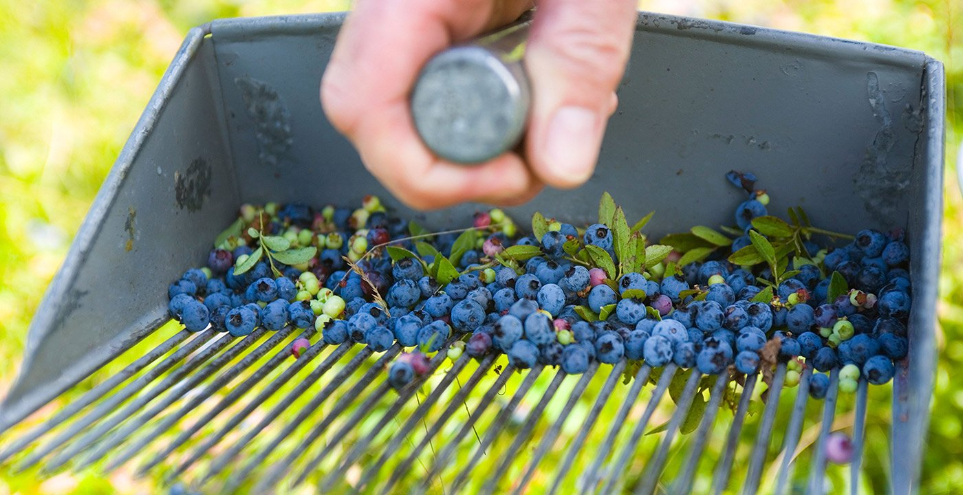 Grab a Bucket and Pick Blueberries