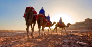 Camels in Marrakesh