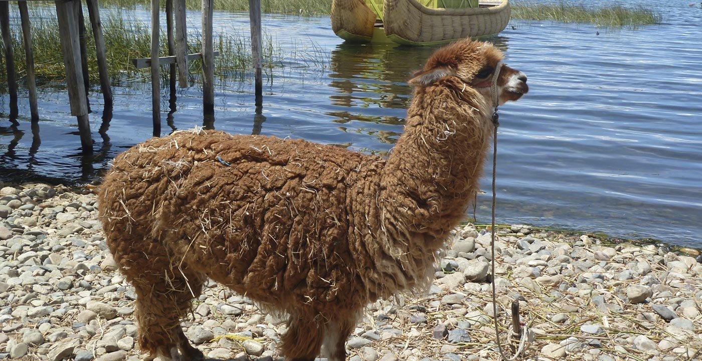 Alpaca near Lake Titicaca