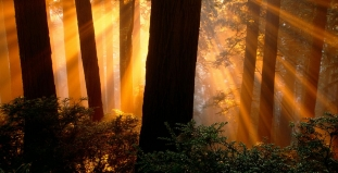 Sunshine Through Redwood Trees