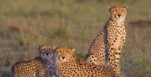 Cheetahs at Serengeti Nat. Park