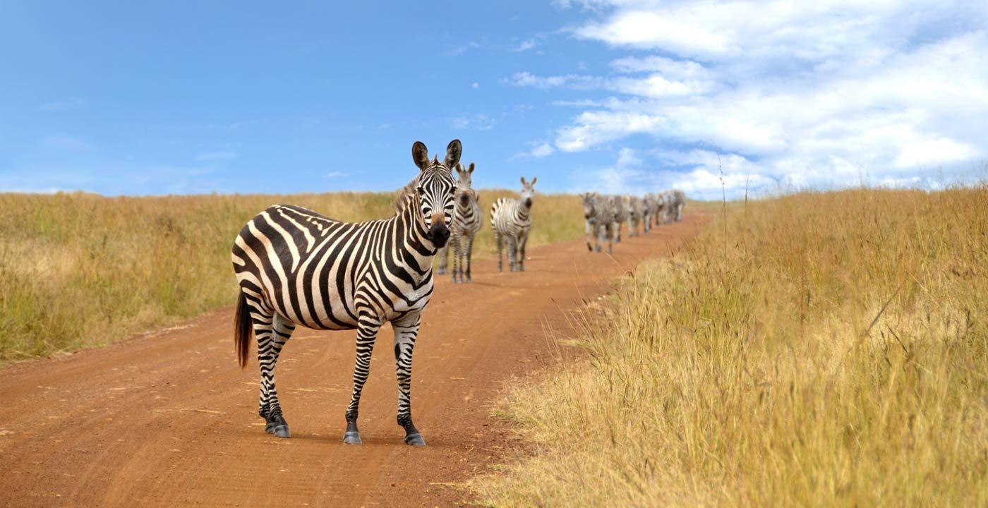 Zebras at Serengeti Nat. Park