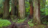 Majestic Old-Growth Forest