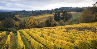 Grapevines in Willamette Valley
