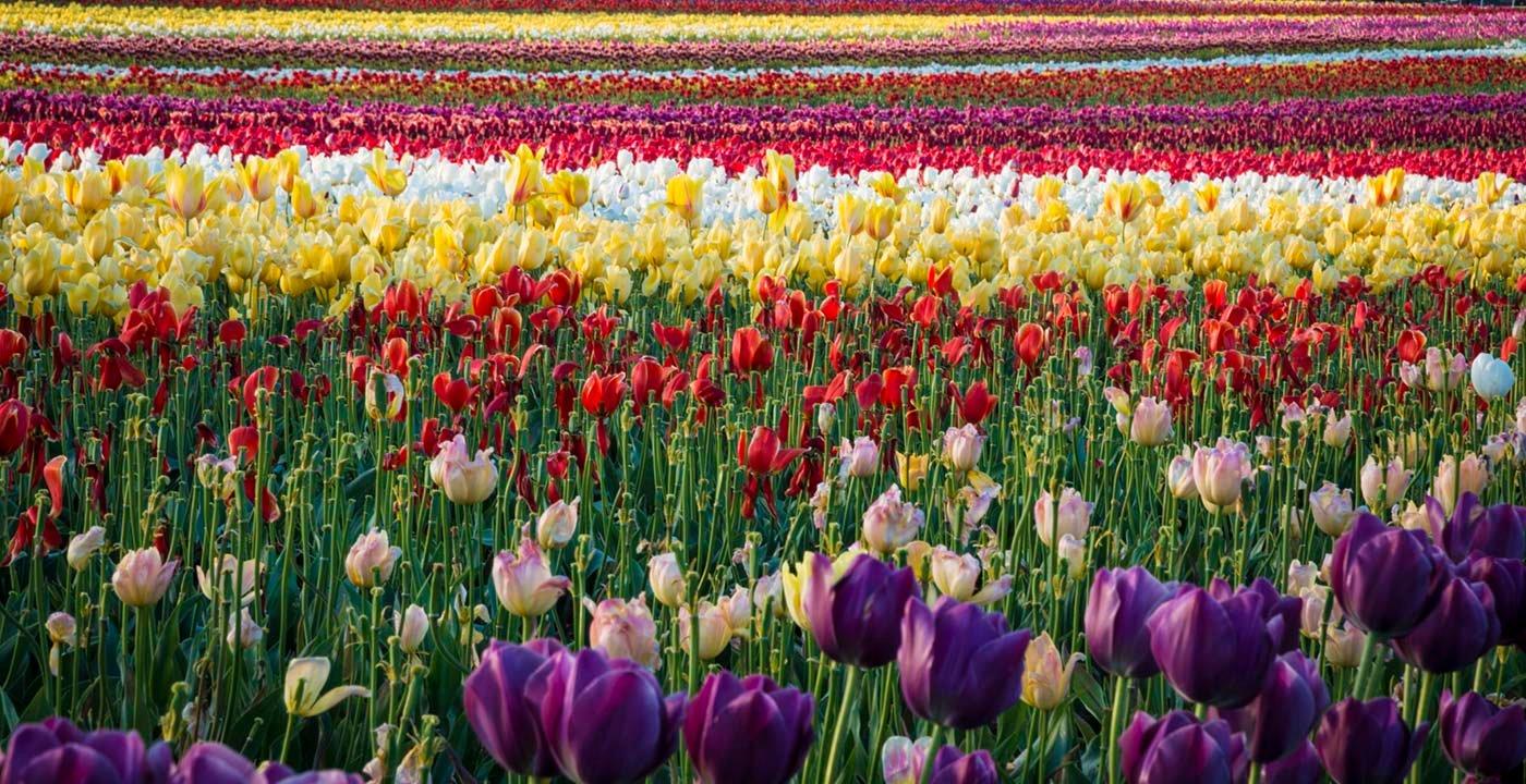 Tulips in Willamette Valley