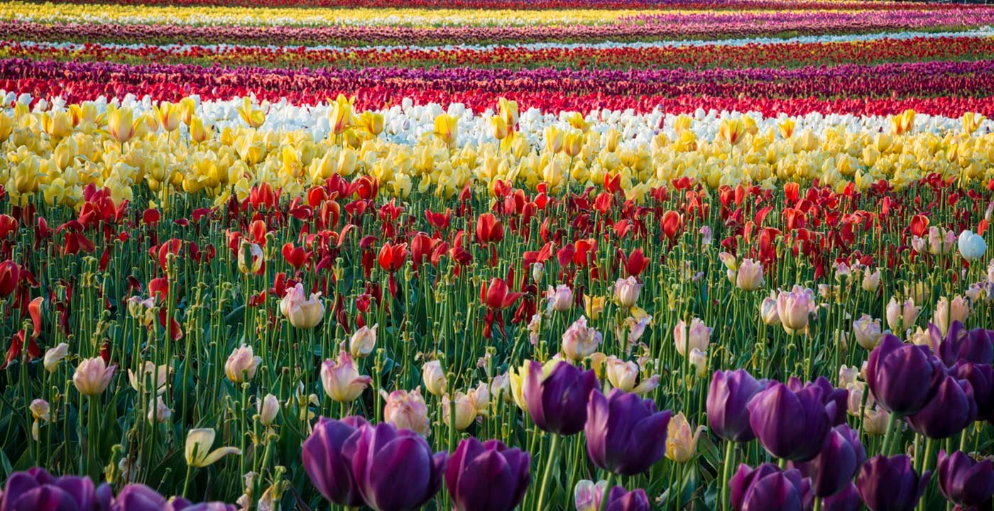 Tulips in Willamette Valley